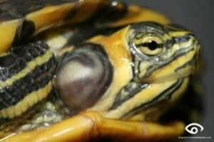 Les tortues domestiques souffrent fréquemment d'otites