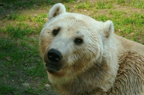 L'ours grolar peut hériter d'un pelage blanc.