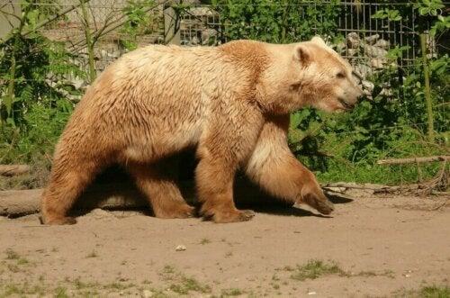 Le grolar est un animal puissant et massif.