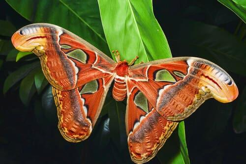 The butterfly Attacus atlas is listed in the entomological museum CURLA