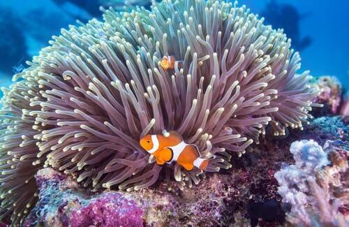 Les poissons clown sont des poissons colorés