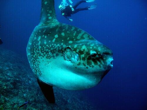 Un poisson lune avec un plongeur sous-marin
