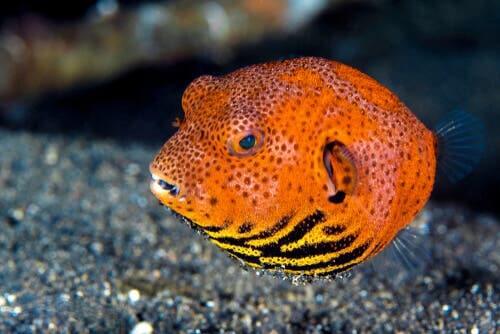 Parmi les poissons colorés figure le poisson-globe