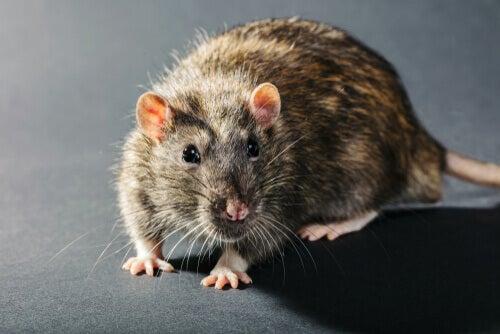 Un rat gris