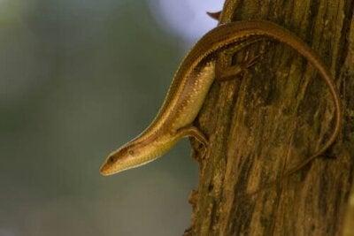 Que sont les scinques, des serpents ou des lézards ?