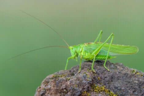 Un tettigoniidae.