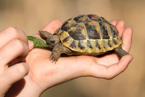 Les 3 problèmes de santé les plus habituels chez les tortues domestiques
