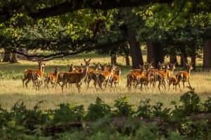 Un troupeau de cerfs.