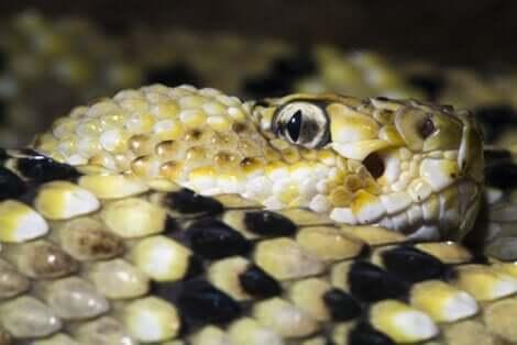 Les yeux d'un serpent à sonnette.