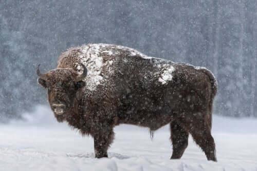 L'auroch eurasiatique : un énorme mammifère