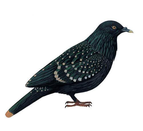 Le pigeon de Liverpool : habitat et comportement