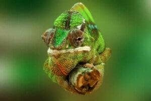 Le changement de couleur chez les caméléons est motivé par le mimétisme.