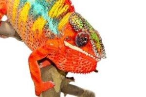 Les caméléons changent de couleur en fonction de la température.