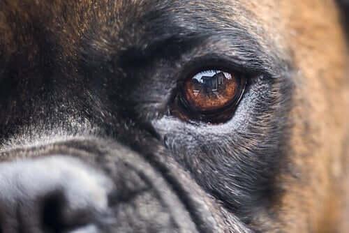 Traitement de la cécité chez les chiens