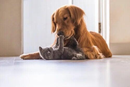 Le choc chez le chien et le chat met leurs vies en danger.