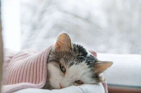 Un chat souffrant de la pneumonie.