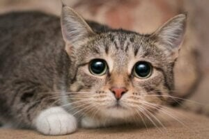 Un chat apeuré, stressé.