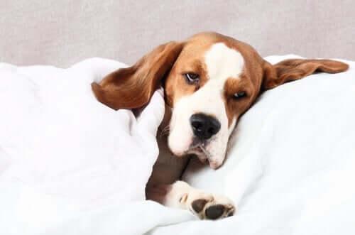 Un chien malade qui a fait des convulsions.