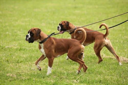 Les chiens en promenade.