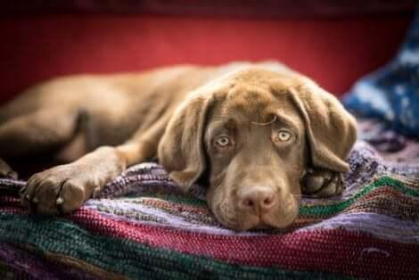 Un chien malade couché.