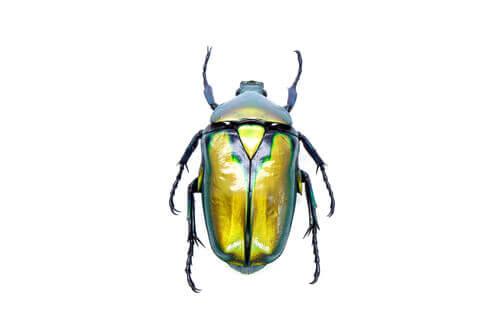 Des coléoptères comme animaux de compagnie ?
