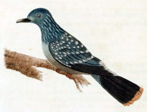 Un dessin du pigeon de Liverpool.