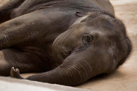 Un éléphant en captivité couché sur une des installation spéciales.