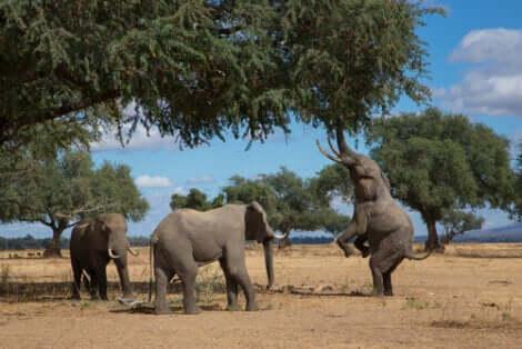 Des éléphants qui mangent.