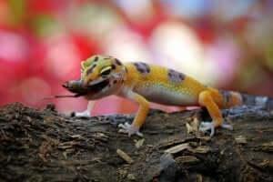 Un gecko léopard avec une proie.