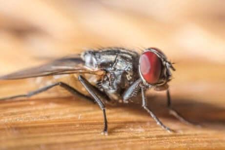 Une mouche domestique sur une table.