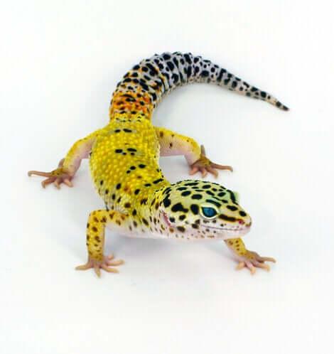 Un gecko léopard jaune.
