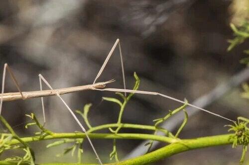 Les insectes simulateurs prennent la forme et la couleur de leur environnement.