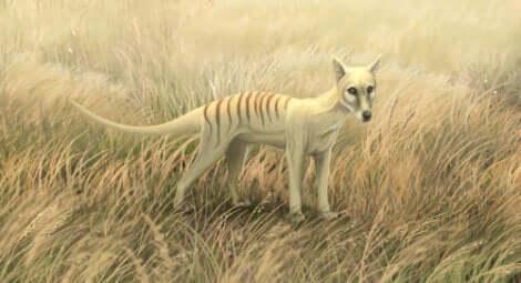 Une peinture de tigre de Tasmanie.