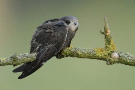 Un martinet noir sur une branche.