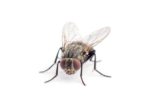 Le cycle de vie de la mouche domestique