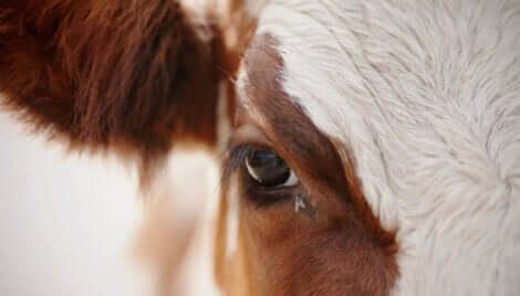 Une mouche domestique sous l'oeil d'une vache.