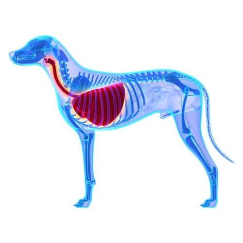 Qu'est-ce que l'œdème pulmonaire chez le chien ?