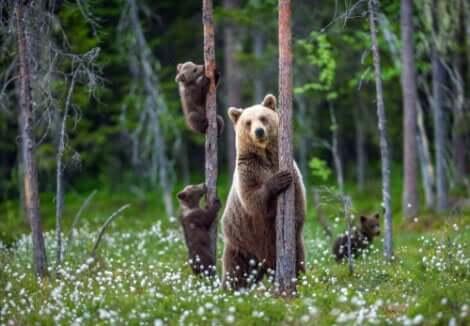Un ours brun et ses petits.