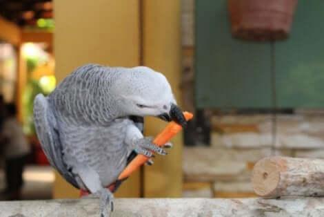 Alex, le perroquet gris qui mange.