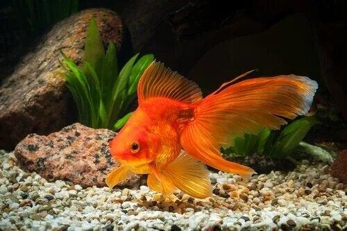 Causes du gonflement des poissons