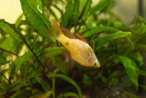 Le gonflement des poissons peut aussi entrainer une décoloration de l'animal.