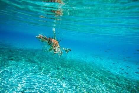 Un poisson-lion dans des eaux claires.