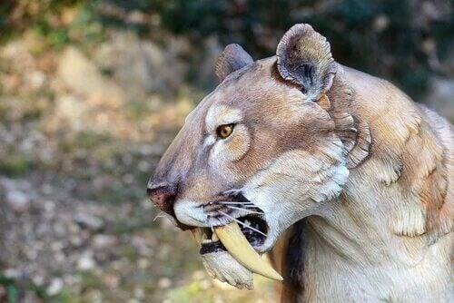 La reconstitution d'un tigre à dents de sabre.