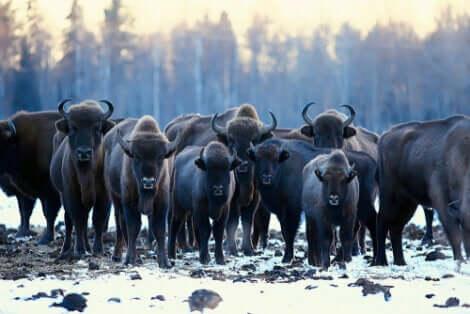 L'auroch eurasiatique vit en troupeau.