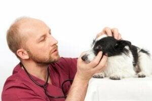 Un vétérinaire qui examine les yeux d'un chien souffrant d'ulcères cornéens.