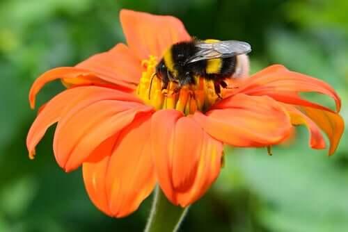 Insectes pollinisateurs et plantes : une symbiose ancestrale