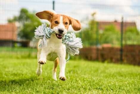 Le beagle, l'une des races de chien susceptibles de s'échapper.