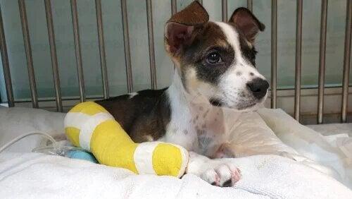 La chirurgie orthopédique chez le chien reste une opération importante.