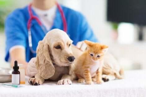 Un chien et un chat chez le vétérinaire ayant besoin d'une thérapie au laser.