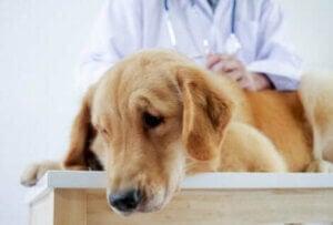 Un chien touché par la toxicité des médicaments.